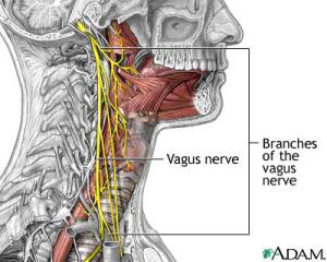 Vagus nerves and its branches.